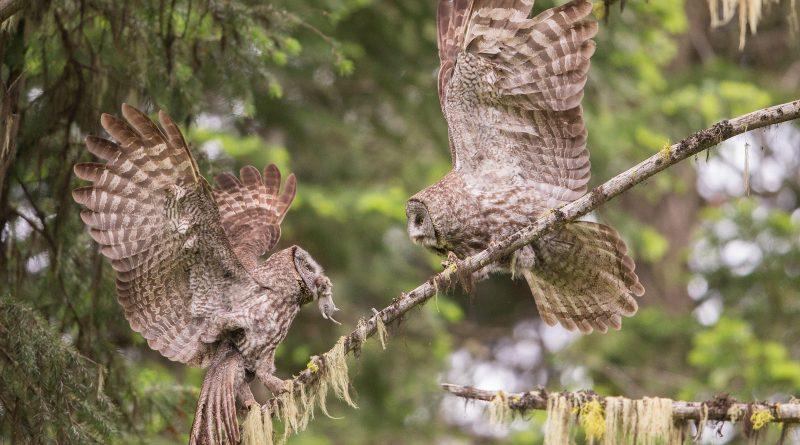 Rare-owl-delhi